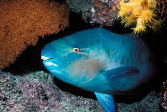 Bluechin Parrotfsh