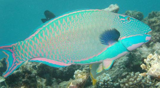 Bicolor parrotfish