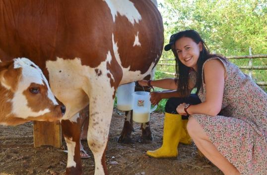 Farm milking cow galapagos hacienda tranquila