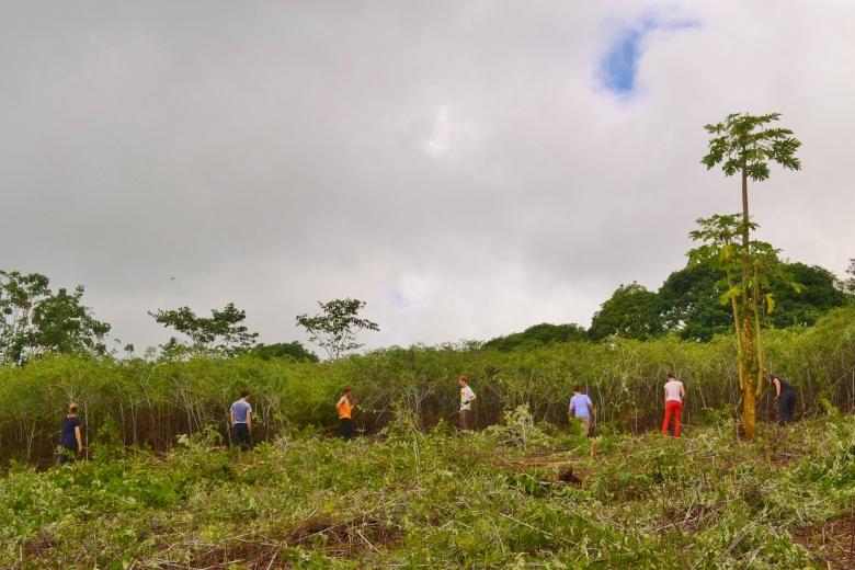 Islas de Galapagos cutting mora blackberry