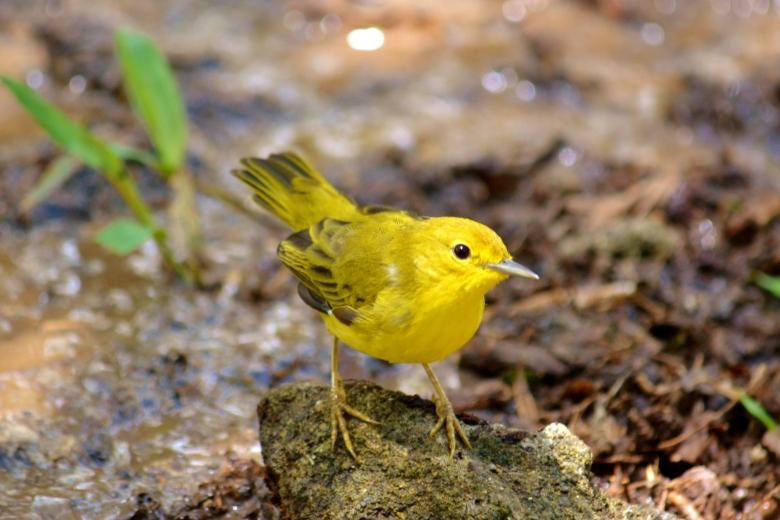 Islas de Galapagos yellow warbler