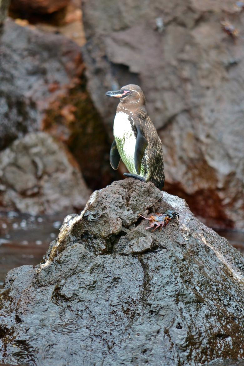 Islas de Galapagos pinguin