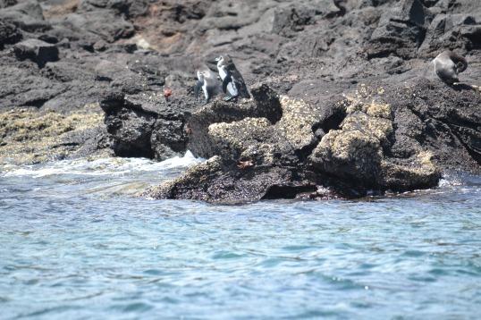 Islas de Galapagos penguins