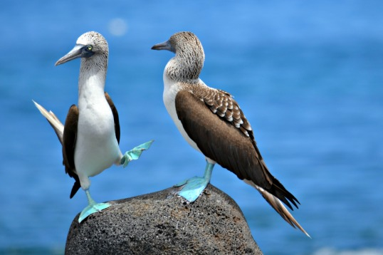 Islas de Galapagos blue footed boobies