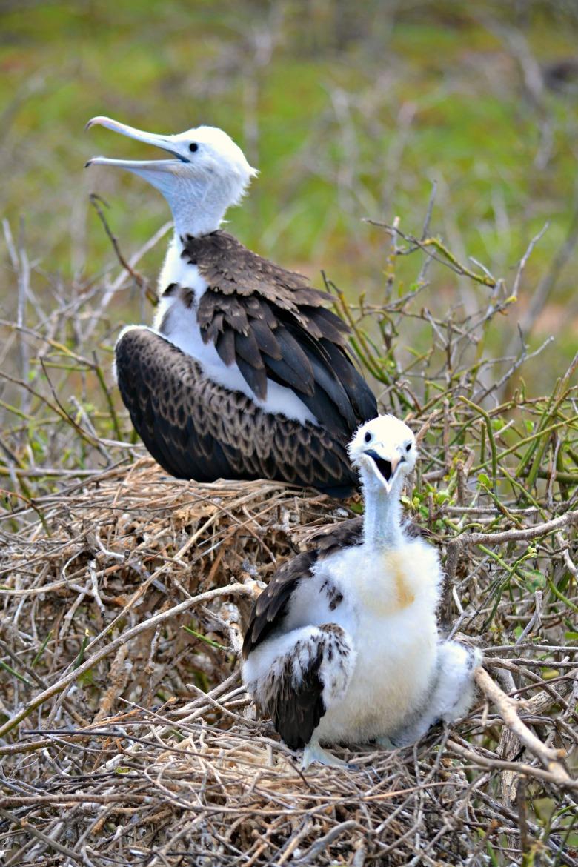 Islas de Galapagos magnificent frigatebird