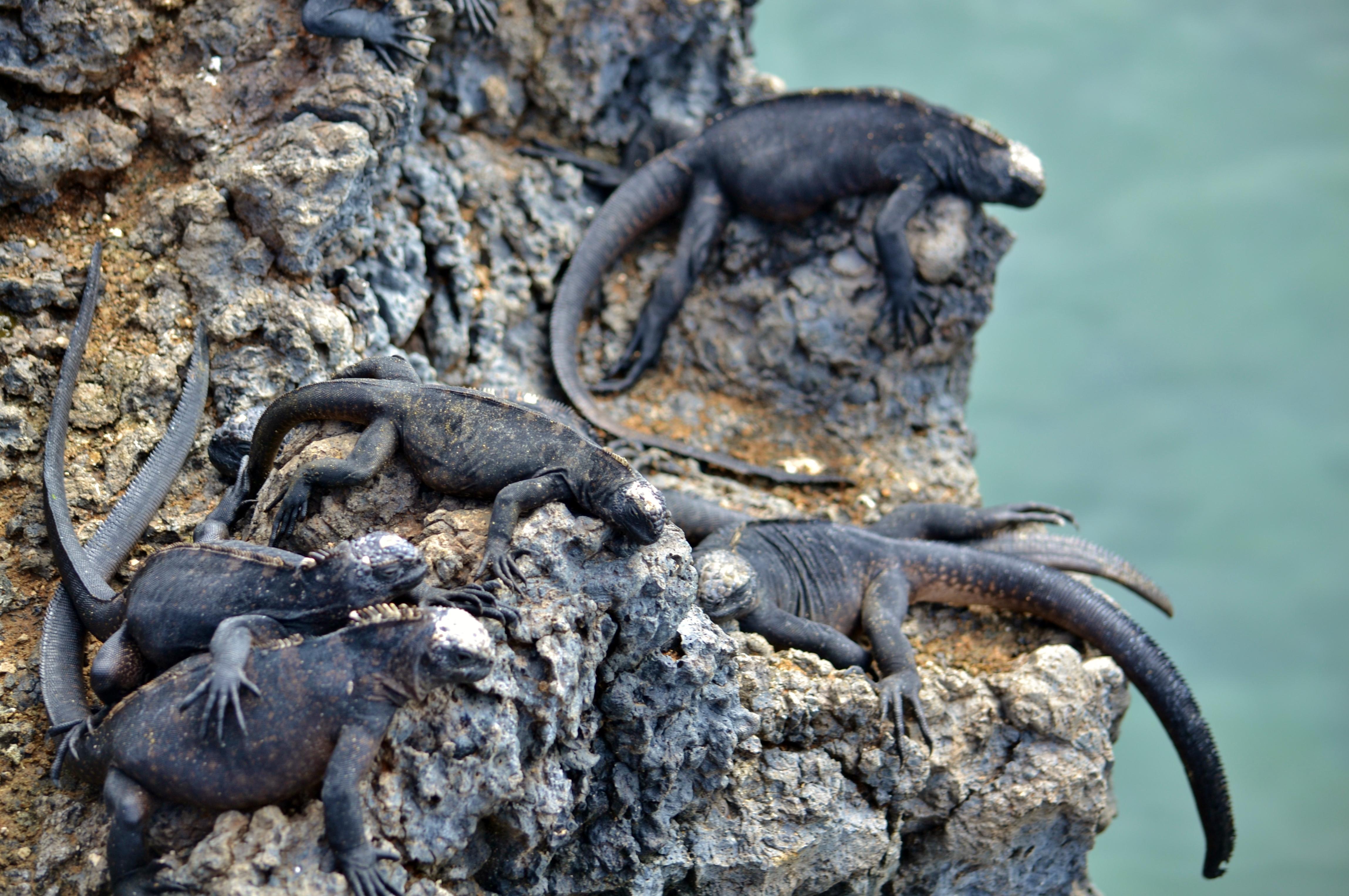 Islas de Galapagos baby iguanas