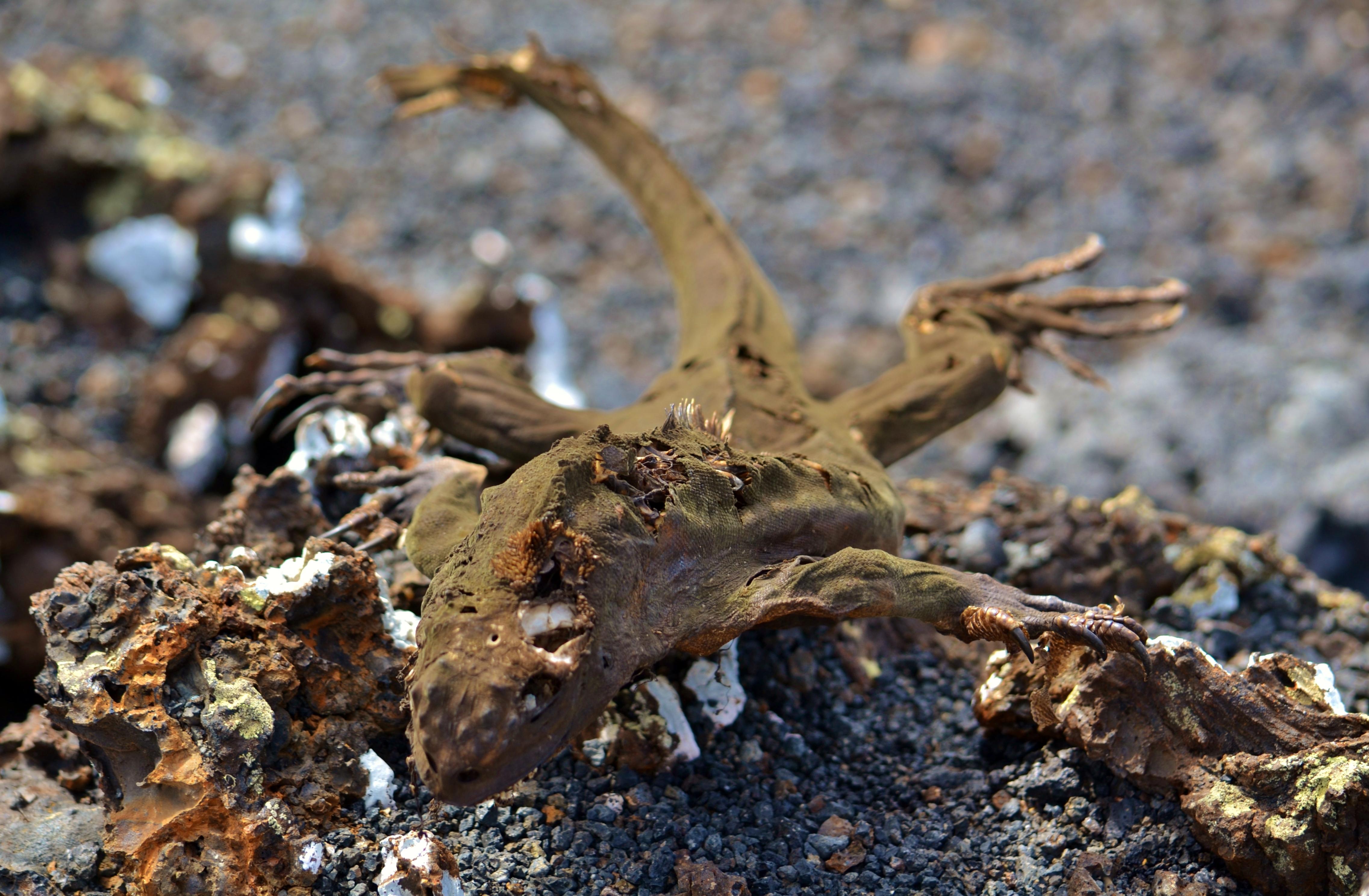 Islas de Galapagos skelet iguana