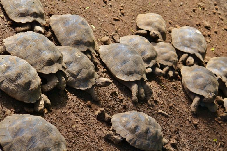 Islas de Galapagos tortoise