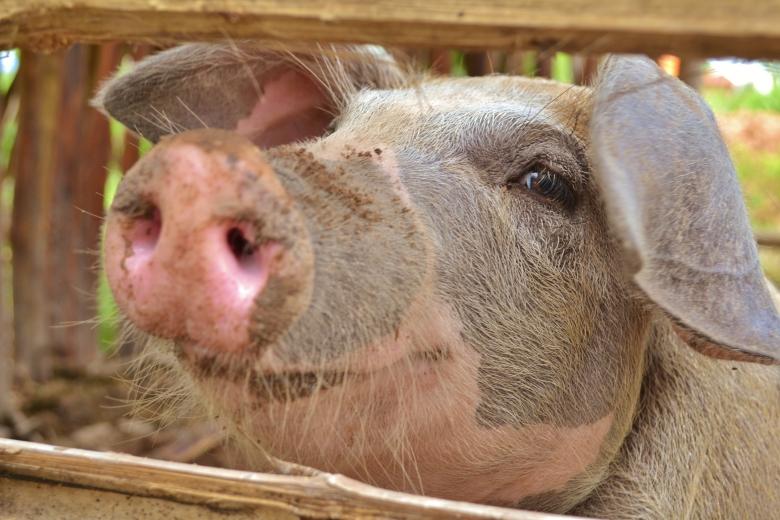 Siem Reap Volunteer piglet